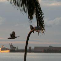 Kookaburra, Гладстон