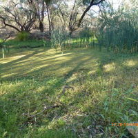 Nyngan - Swampy area near the Weir - 2014-01-15, Оранж