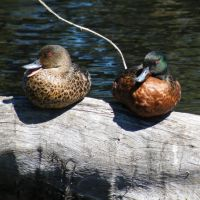Chestnut Teal pair, Траралгон