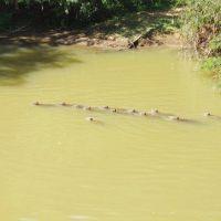 Capivaras no rio, Дивинополис