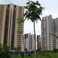 Um pé de mamão é mais alto do que um prédio? - Londrina - PR - Brazil, Лондрина