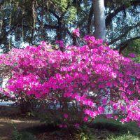 Azaleas - Jardim Velho, Параиба-ду-Сул