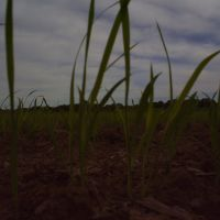 Plantação de Arroz - ERS, Качоэйра-до-Сул