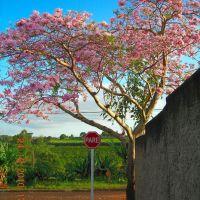 Ipê Rosa - Tabebuia pentaphylla, Ботукату