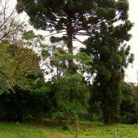 ARAUCÁRIA - moranguinho, Ботукату