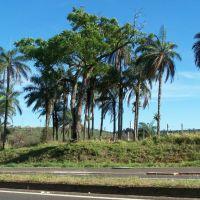 Àrvore e coqueiros - Domingos Sartori, Ботукату