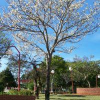 IPE BRANCO - Brasil Japão, Ботукату