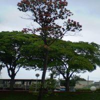 Linda Árvore Ao Lado Da Rodoviária - Jaú  SP, Жау