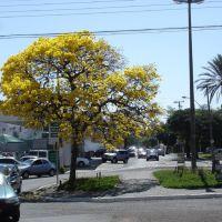 Na Vicente Ferreira, ipê enfeita a via urbana, Марилия