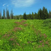 High altitude wet meadow on Marshall Mountain, Барли