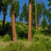 Big ponderosa pine near the French Creek road. Salmon River breaks, Рексбург