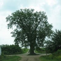 Tree in the road, Гринфилд