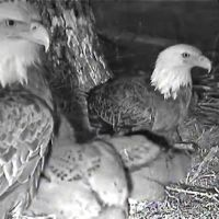 Decorah Eagles screen shot taken 11.43am in Melbourne,  Australia of female and male on nest 8.43pm Iowa 3rd May, 2011. Camera courtesy of Raptor Resource Project and Ustream (infra red), Денвер