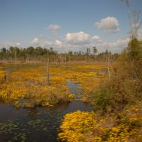 Swamp in Bloom, Акрон