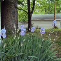 Purple irises rise, Атенс