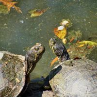 Turtles Courting, Гадсден