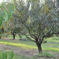 Chilton County Peach Orchard, Лисбург