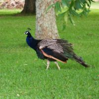 Mr. Peacock, Локсли