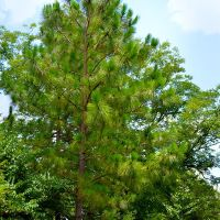 A beautiful Alabama State Tree the Longleaf Pine at Lockhart, Alabama, Локхарт