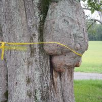 Burl on a tree that looks like a face. Moundville Archaeological Park. 7/6/2007., Маундвилл