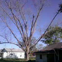 Pecan tree just starting to leaf-out, Онича