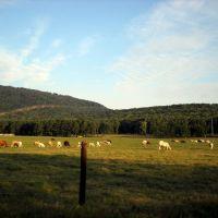 Cows in Field, Редстон Арсенал