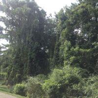 Kudzu and big pine tree, Сакс