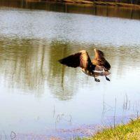 Goose in flight, Седар-Блуфф