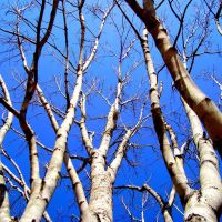 Trees, Седар-Блуфф