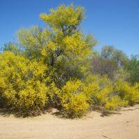 Palo Verde in Bloom - Big Wash, San Manuel, Arizona, Сан-Мануэль