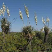 Flowering Soaptree Yucca (Yucca elata - Palmilla); San Manuel, AZ, Сан-Мануэль