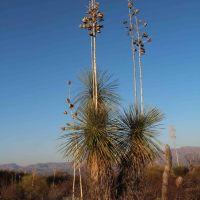 Soaptree Yucca (Yucca elata - Palmilla) near sunset; desert S of San Manuel, AZ, Сан-Мануэль