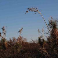 Soaptree Yucca (Yucca elata - Palmilla) near sunset; S of San Manuel, AZ, Сан-Мануэль