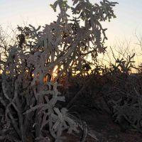 Cane Cholla Cactus (Cylindropuntia spinosior) at sunset; wash N of San Manuel, AZ, Сан-Мануэль