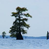 Swamp cypress trees in the eastern basin of Caddo Lake (2), Бакнер
