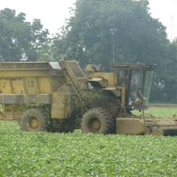Harvesting Green Beans, England, AR, Ингленд