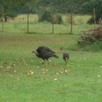 Wild Turkeys in Judsonia, Кенсетт