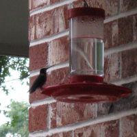 Hummingbird, Элм-Спрингс
