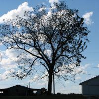 Tree, Элм-Спрингс