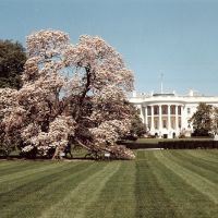 Cerezos en flor.The White House ., Алдервуд-Манор