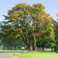 Big Tree, Fort Vancouver, Vancouver, Washington, Ванкувер