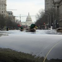 Ducks in the city Washington D.C. Capitol, Кли-Элам