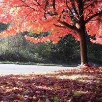 Fall  Colors in Brighton Ridge, Renton, Рентон