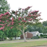 VIRGINIA: NEWPORT NEWS: crepe myrtle in bloom [for r.w.], Ньюпорт-Ньюс