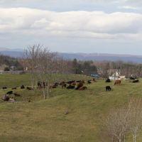 Cows Resting, Радфорд