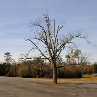 VIRGINIA: ISLE OF WIGHT COUNTY: RUSHMERE: First Gravel Hill Baptist Church, 5186 Old Stage Highway (S.R. 10) parking lot tree, Рашмер