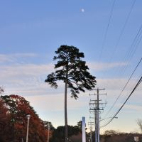 VIRGINIA: CITY OF CHESAPEAKE: Correctional Center, 400 Albemarle Drive genuine tree with telephone poles at dusk, Чесапик