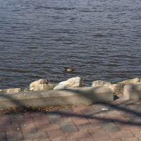 Mallard Duck, Ла-Кросс