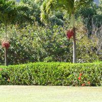 2011.0316ハワイ・ワイレアの果樹園:棗椰子(ナツメヤシ)の木, Ваикапу