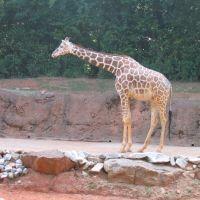 Giraffe, Грешам Парк